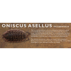 Oniscus asellus - Isopod Label