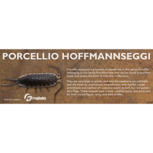 Load image into Gallery viewer, Porcellio hoffmannseggi - Isopod Label