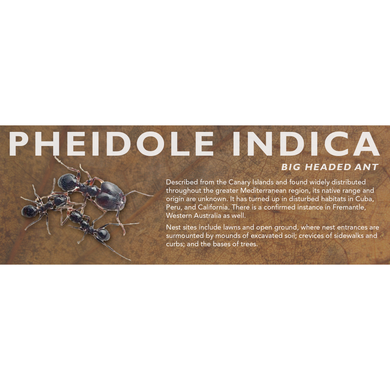 Pheidole indica - Big Headed Ant Label