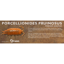 Load image into Gallery viewer, Porcellionides pruinosus - Isopod Label
