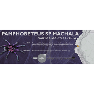 Purple Bloom Tarantula (Pamphobeteus sp. machala) - Standard Vivarium Label