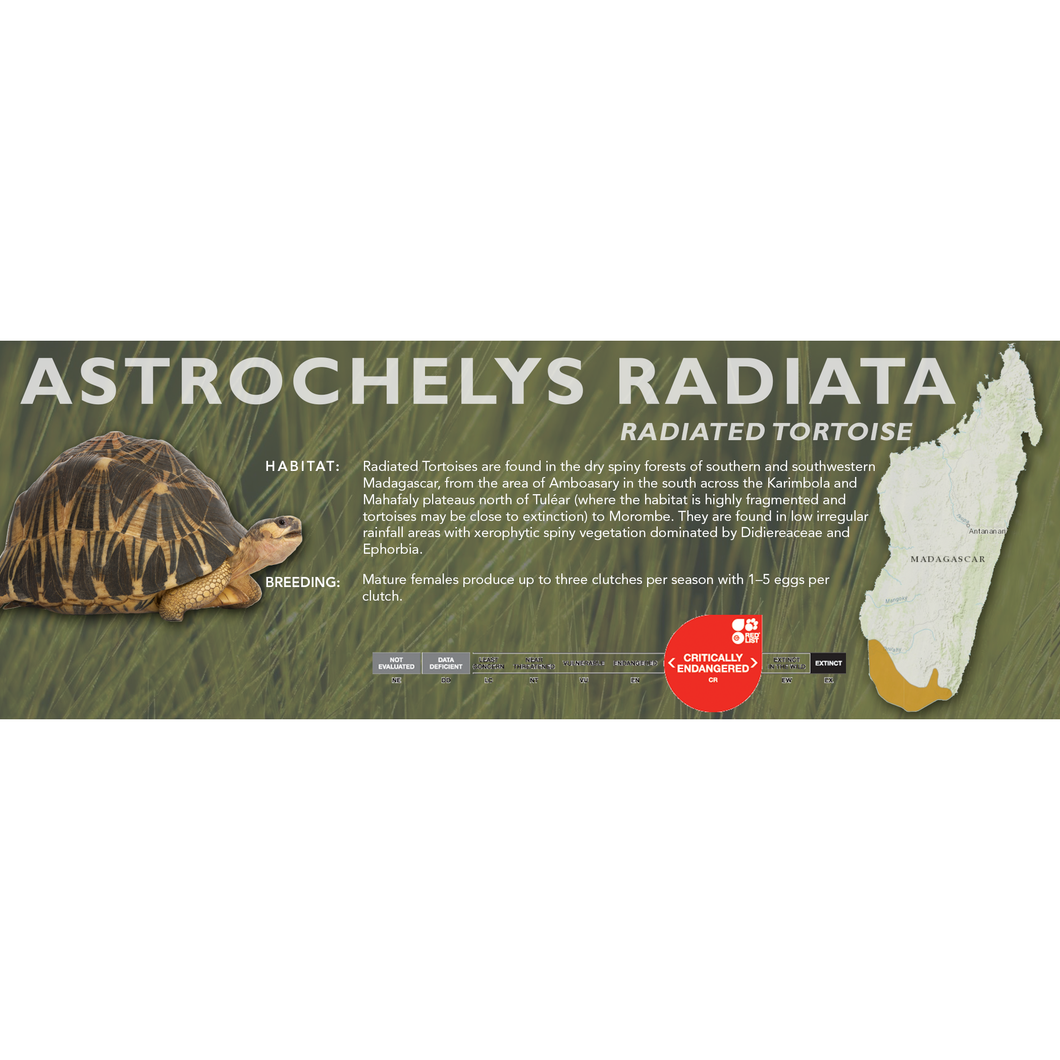Radiated Tortoise (Astrochelys radiata) - Standard Vivarium Label