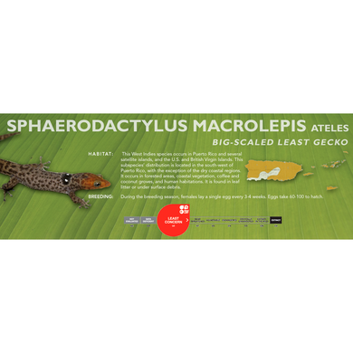 Big-Scaled Least Gecko (Sphaerodactylus macrolepis) Standard Vivarium Label