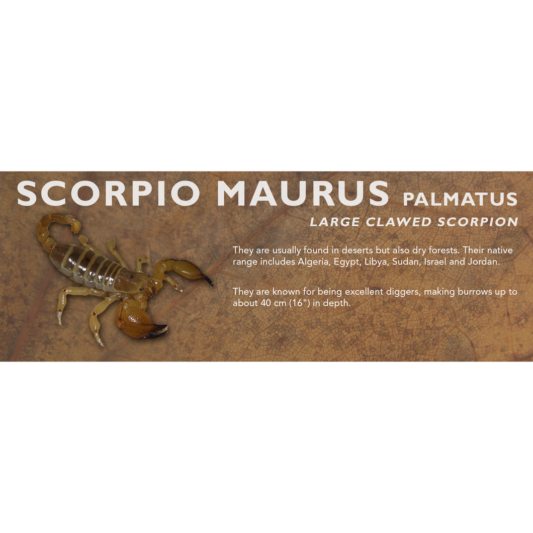 Scorpio maurus palmatus - Large Clawed Scorpion Label