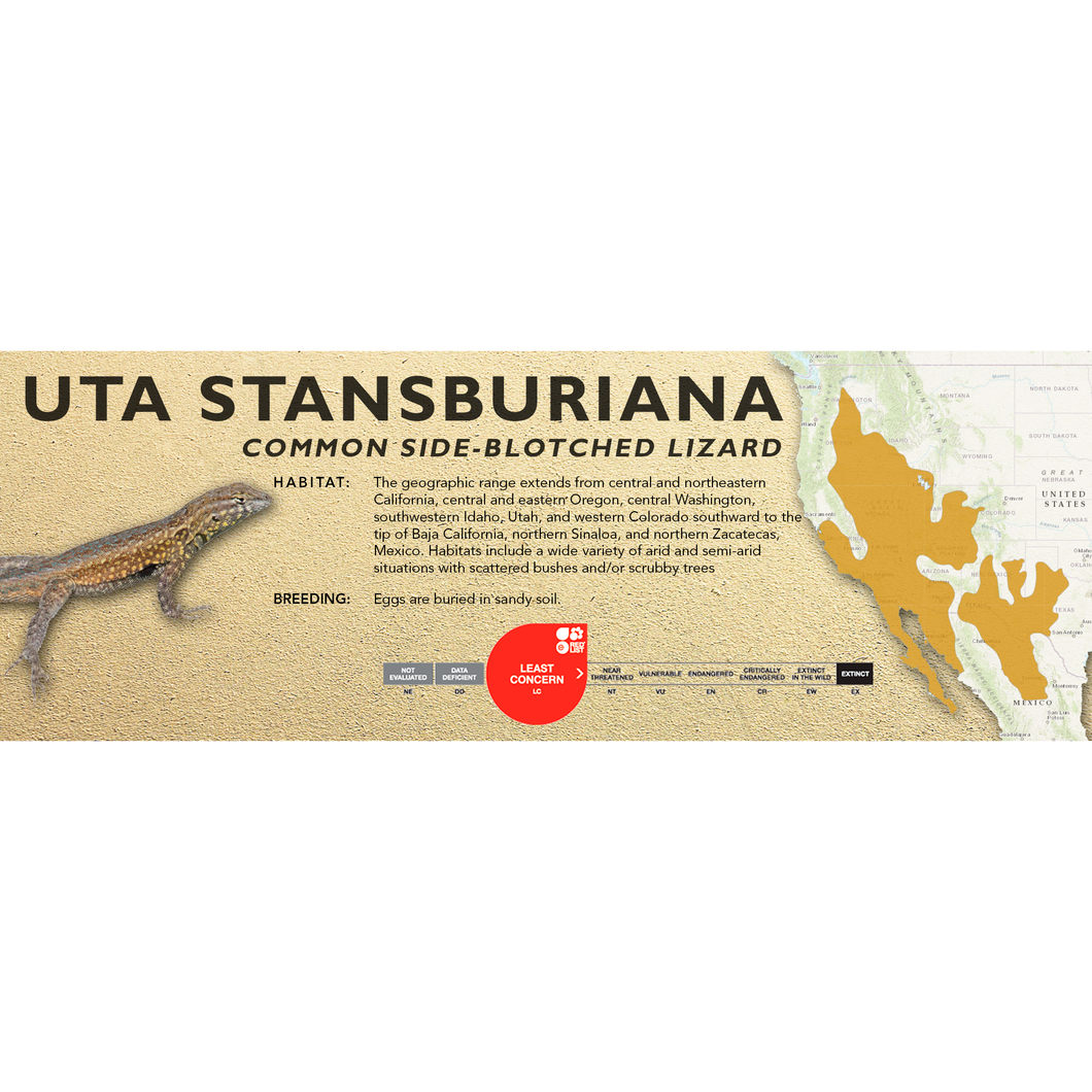 Common Side-Blotched Lizard (Uta stansburiana) Standard Vivarium Label