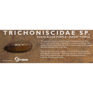 Trichoniscidae sp. (Costa Rican Dwarf Purple) - Isopod Label