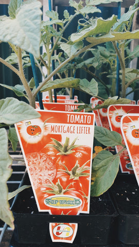 Tomato mortgage lifter