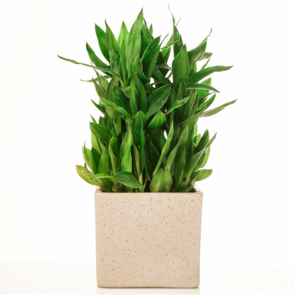 Lucky Bamboo 3 Layer Plant in White Marble Finish Ceramic Pot - Giftingnation
