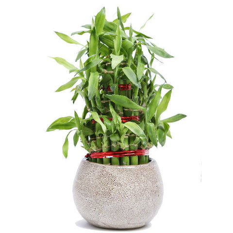Cream 3 layer Lucky Bamboo Plant - Giftingnation