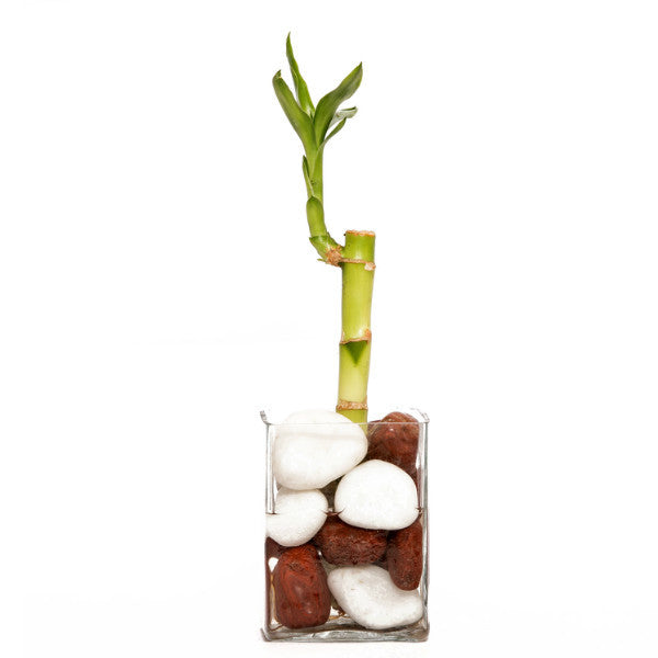 Single Layer Bamboo Plant with Glass Pot - Giftingnation