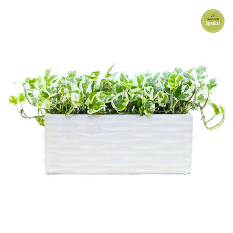 Snowy Tray White Pothos Plant - Giftingnation