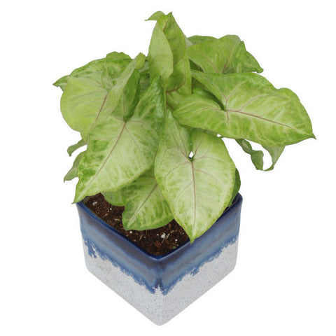 Indoor Plant Syngonium Green in Marble White & Blue Ceramic Pot - Giftingnation - 1