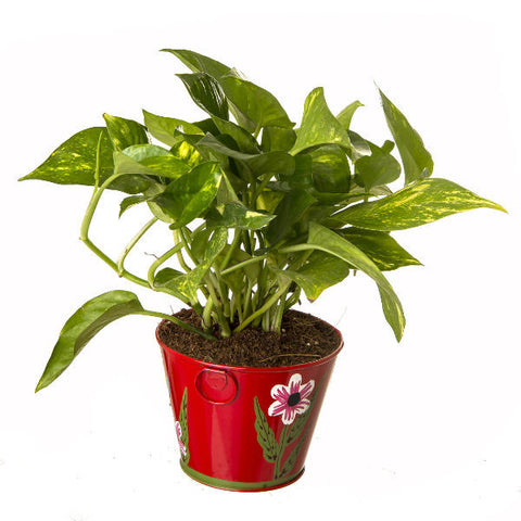 Indoor Hybrid Money Plant in Round Red Metal Pot - Giftingnation - 1