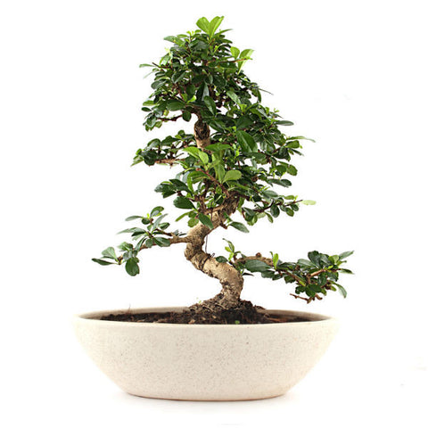 Carmona Bonsai Tree 5 Year Old in White Marble Boat Pot - Giftingnation