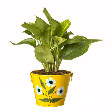 Indoor Hybrid Money Plant in Round Yellow Metal Pot - Giftingnation - 2