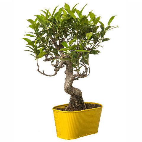 6 Year Old S Shape Bonsai In Yellow Pot - Giftingnation - 2