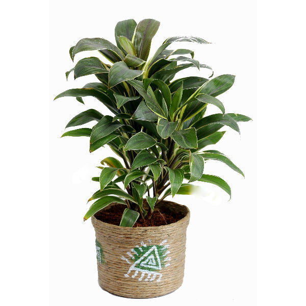 Indoor Plant Cordyline in Jute Pot - Giftingnation