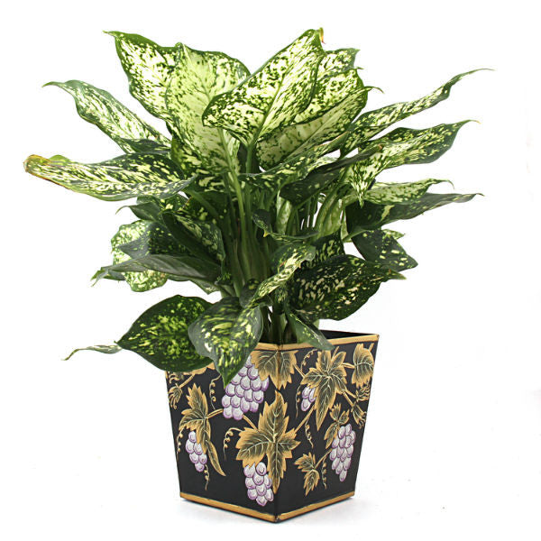 Indoor Plant Green Aglonema with Black Metallic Planter - Giftingnation