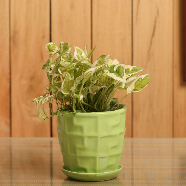 Glossy Green White Pothos Plant - Giftingnation