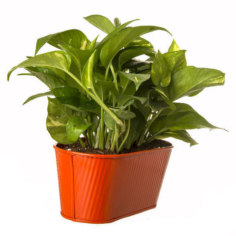 Indoor Hybrid Money Plant in Oval Orange Metal Pot - Giftingnation - 1