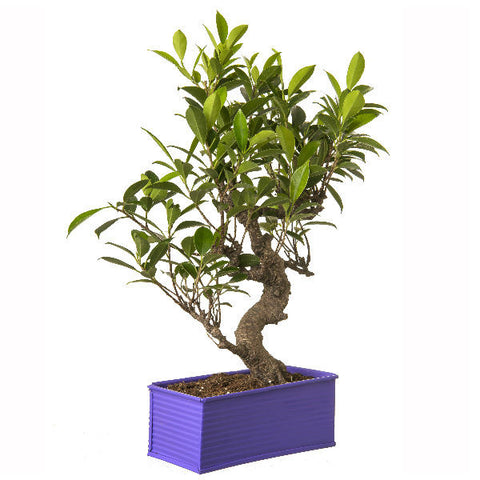 6 Year Old S Shape Ficus Bonsai Tree in Purple Pot - Giftingnation - 2