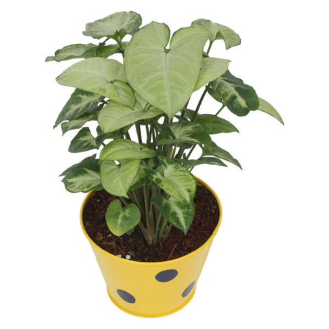 Indoor Plant Hybrid Green Syngonium in Round Yellow Metal Pot - Giftingnation - 1