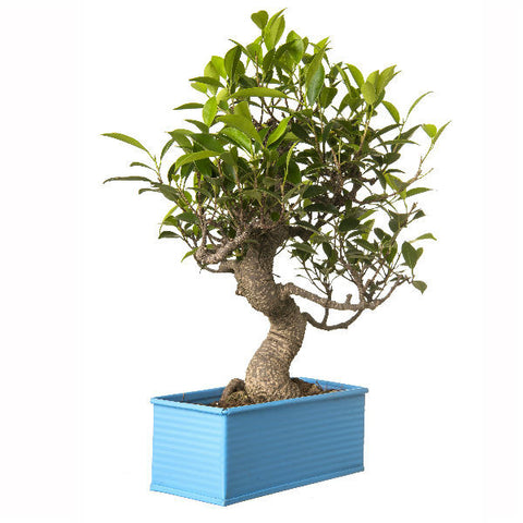 6 Year Old S Shape Ficus Bonsai In Blue Pot - Giftingnation - 2