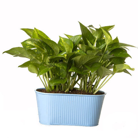 Indoor Hybrid Money Plant in Oval Light Blue Metal Pot - Giftingnation - 2