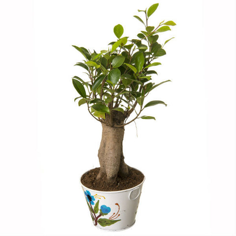 Grafted Ficus 4 Year Old Bonsai In White Pot - Giftingnation - 1