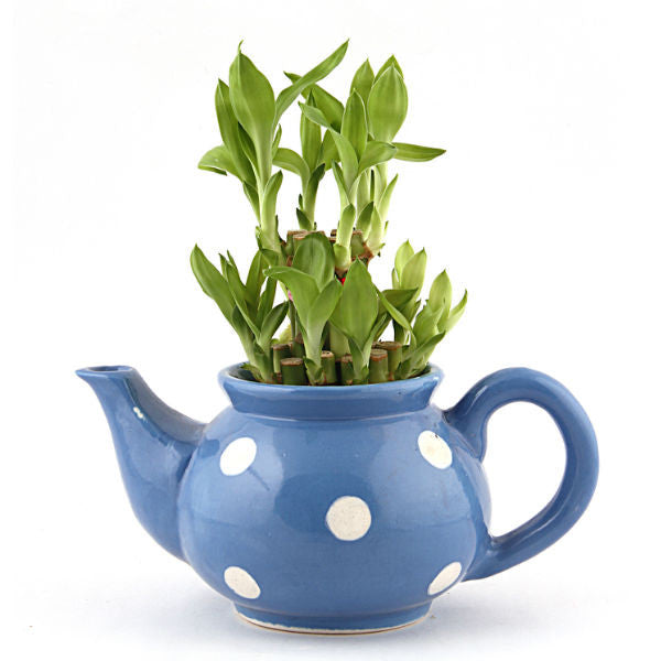 Lucky Bamboo 2 Layer Plant in Blue Polka Kettle - Giftingnation