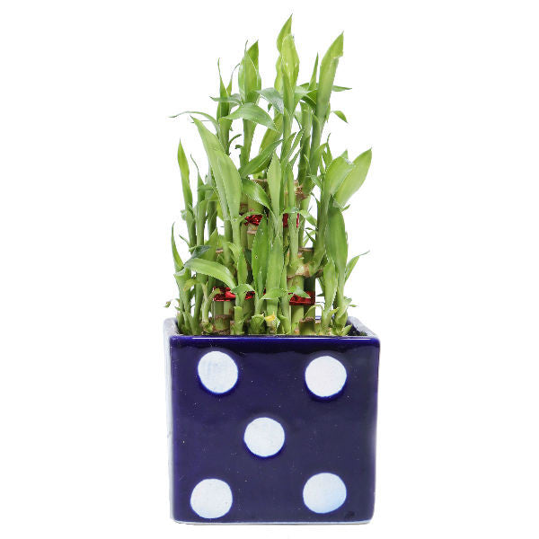 3 Layer Bamboo Plant in Blue Polka Square Ceramic Pot - Giftingnation