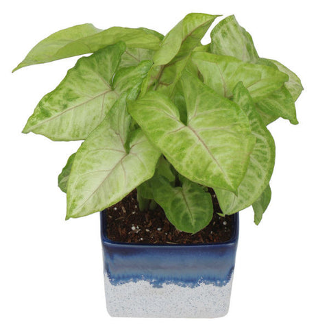 Indoor Plant Syngonium Green in Marble White & Blue Ceramic Pot - Giftingnation - 2