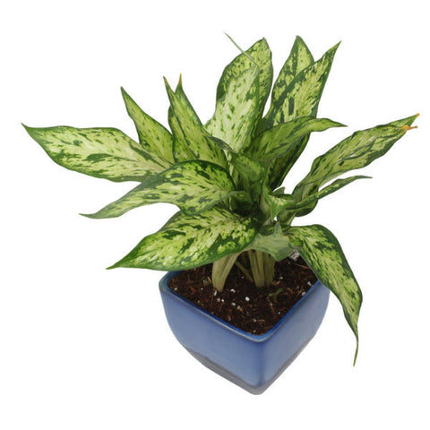 Buy Indoor Plants Online in India | 2000+ Indoor Plants Shop