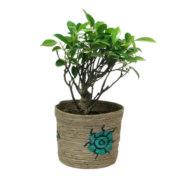 I Shape Ficus Bonsai Tree 2 Year Old in Jute Pot - Giftingnation