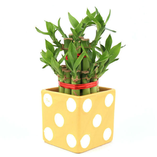 Lucky Bamboo 2 Layer Plant in Yellow Polka Ceramic Pot - Giftingnation