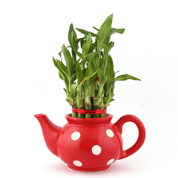 Lucky Bamboo 2 Layer Plant with Red Polka Kettle Ceramic Pot - Giftingnation