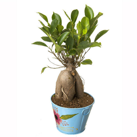 Grafted Ficus 4 Year Old Bonsai In Blue Pot - Giftingnation - 1