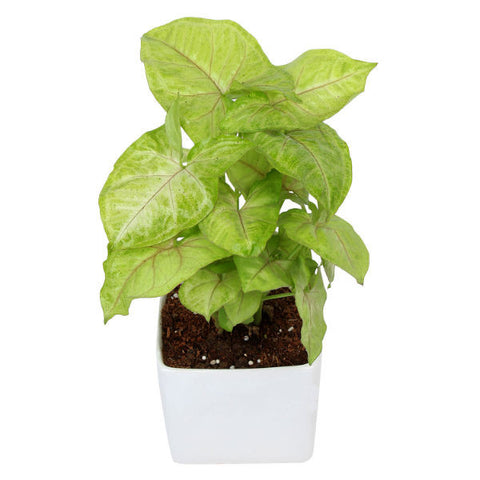 Indoor Plant Syngonium Green in White Ceramic Pot - Giftingnation - 2