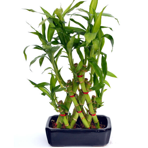 Lucky Bamboo Pyramid with Unique Blue Pot - Giftingnation
