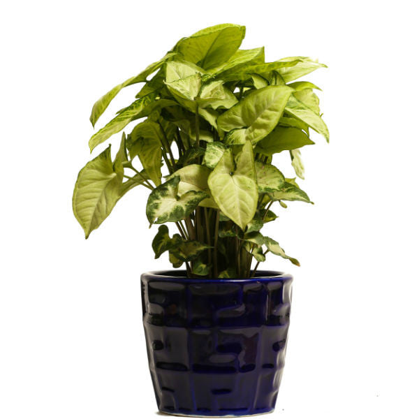Glossy Blue Lime N Lemon Syngonium Plant - Giftingnation