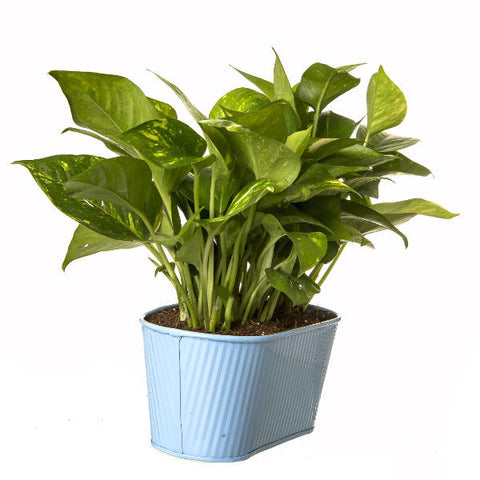 Indoor Hybrid Money Plant in Oval Light Blue Metal Pot - Giftingnation - 1