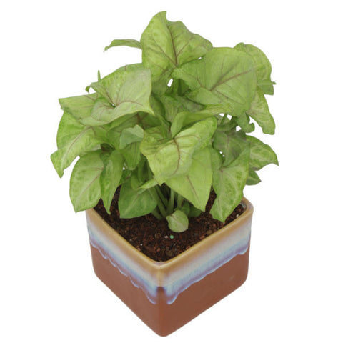 Indoor Plant Syngonium Green in German Brown Ceramic Pot - Giftingnation - 1