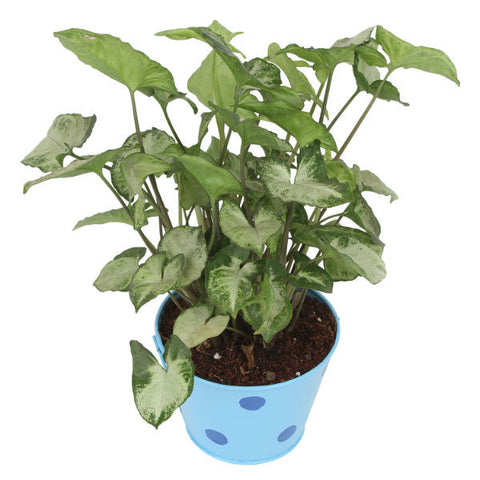 Indoor Plant Hybrid Green Syngonium in Round Light Blue Metal Pot - Giftingnation - 1