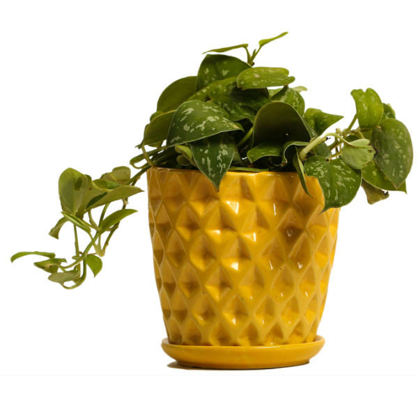 Spotted Yellow Silver Scindapsus Plant - Giftingnation