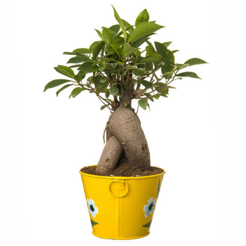 Grafted Ficus 4 Year Old Bonsai In Yellow Pot - Giftingnation - 2