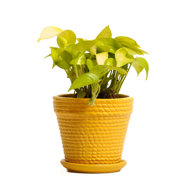 Sizzling Yellow Golden Pothos Plant - Giftingnation