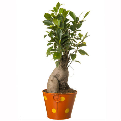 Grafted Ficus 4 Year Old Bonsai In Orange Pot - Giftingnation - 2