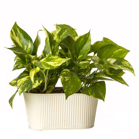Indoor Hybrid Money Plant in Oval White Metal Pot - Giftingnation - 1