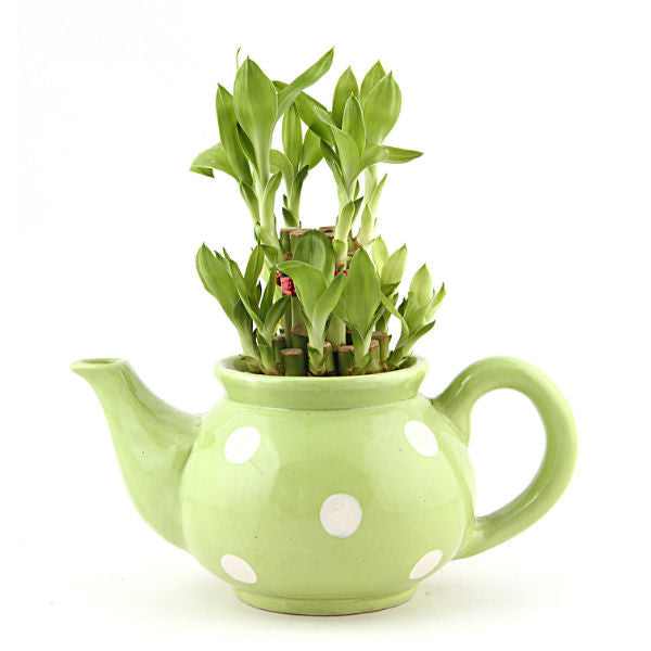 Lucky Bamboo 2 Layer Plant in Green Polka Kettle - Giftingnation