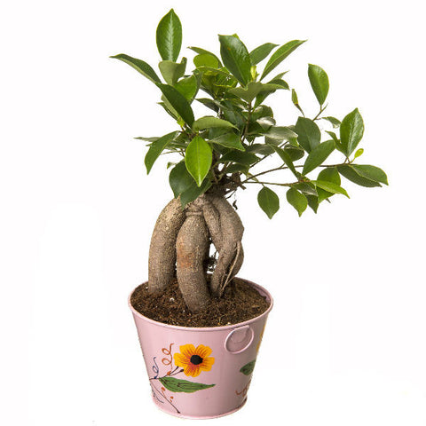 Indoor Plant Grafted Ficus 4 Year Old Bonsai In Pink Pot - Giftingnation - 1